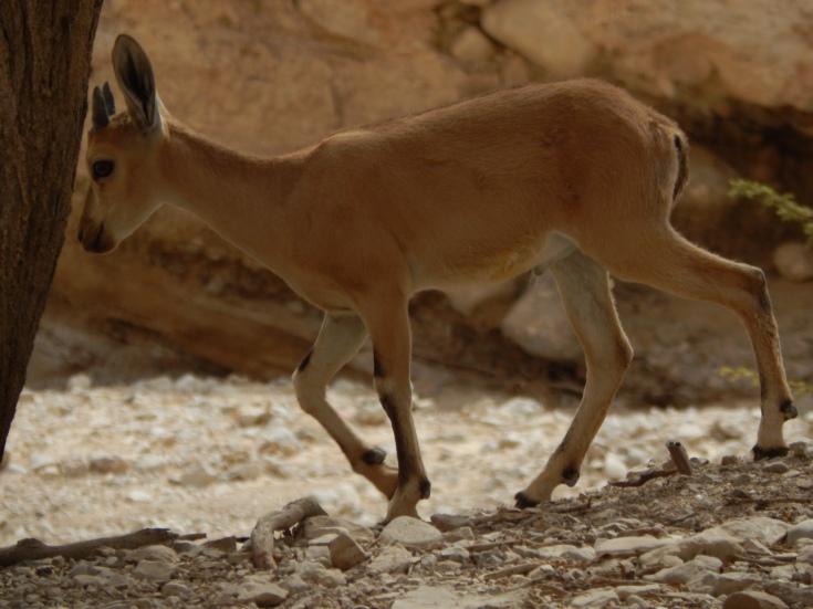 Ibex (wild mountain goats) at En Gedi.