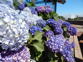 Hydrangeas at Mt. Bental Yom Kippur War Memorial in the Golan Heights.